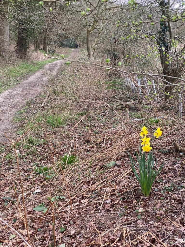 daffodil at broadland country park
