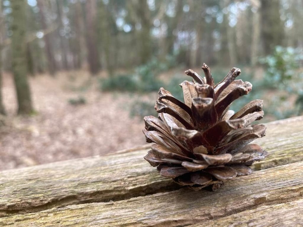 pine cone at Broadland Country Park