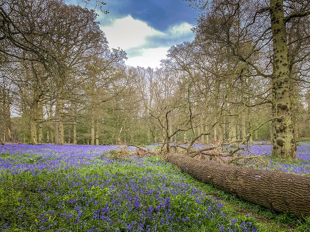 fallen tree surrounded by bluebells at blickling estate in norfolk