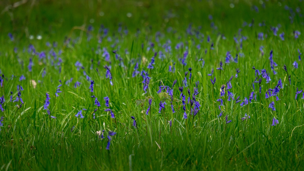 bluebells in Foxley Wood in Norfolk