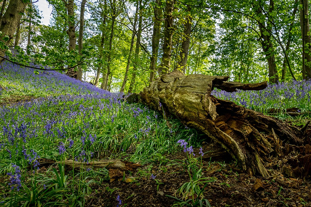 bluebell display in the private woodland at High Ash Farm