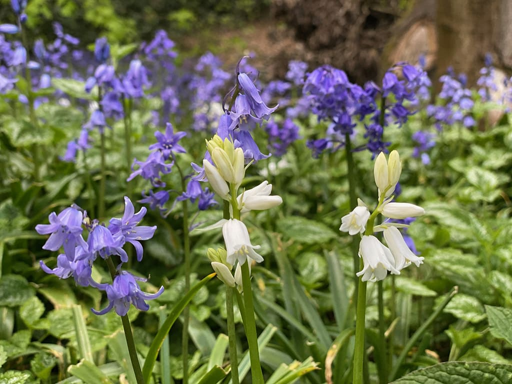 white and violet bluebells at Lion Wood in Norwich