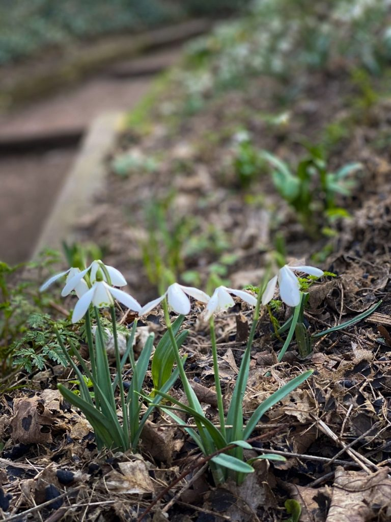 snowdrops in Kett's Heights