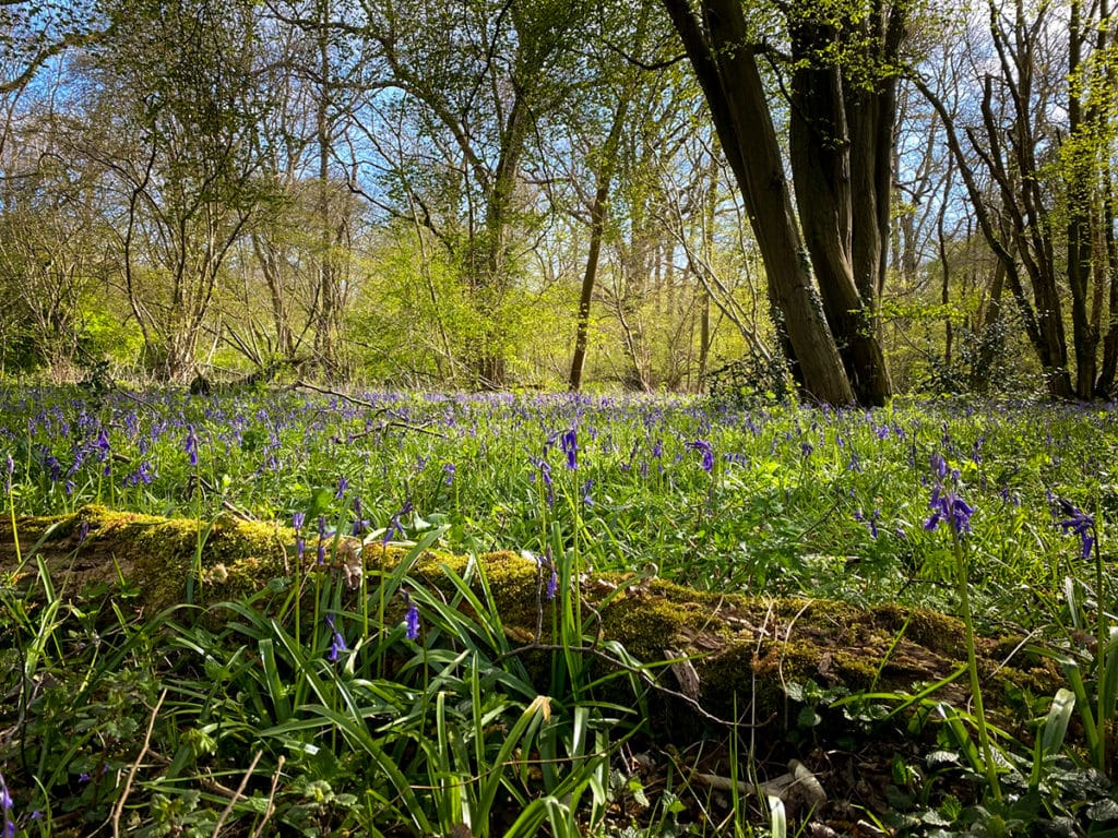bluebells and a fallen tree at wayland wood